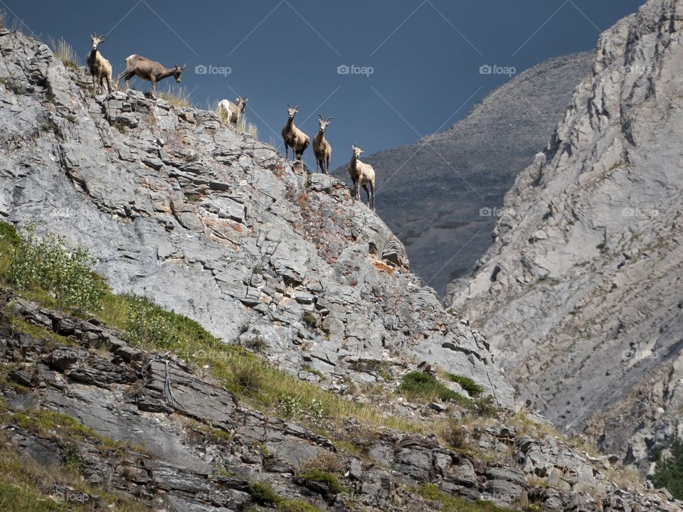Bighorn Sheep Hanging Out on the Cliffs, in Kananaskis,