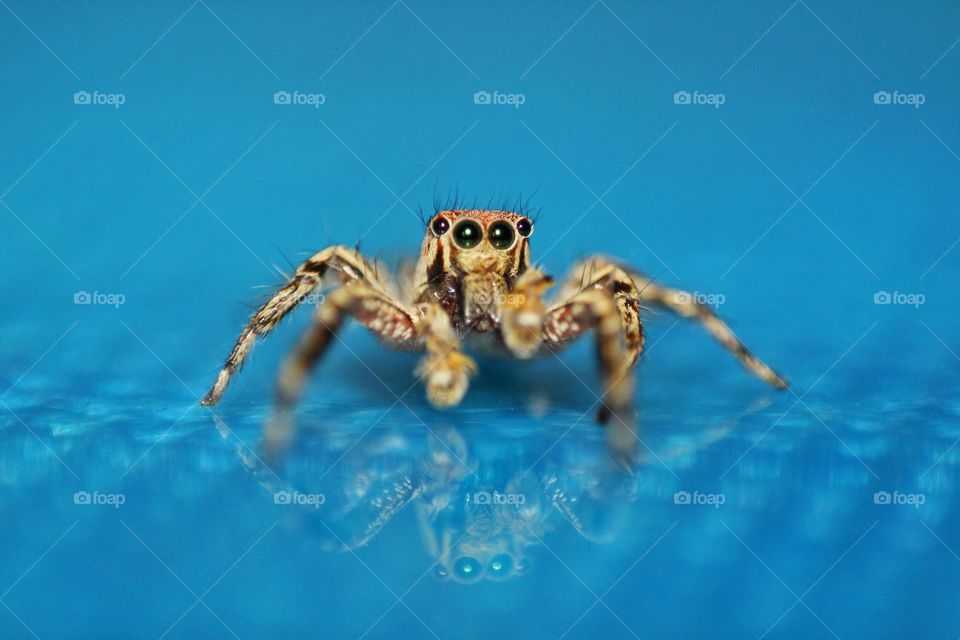jumping Spider With Reflection