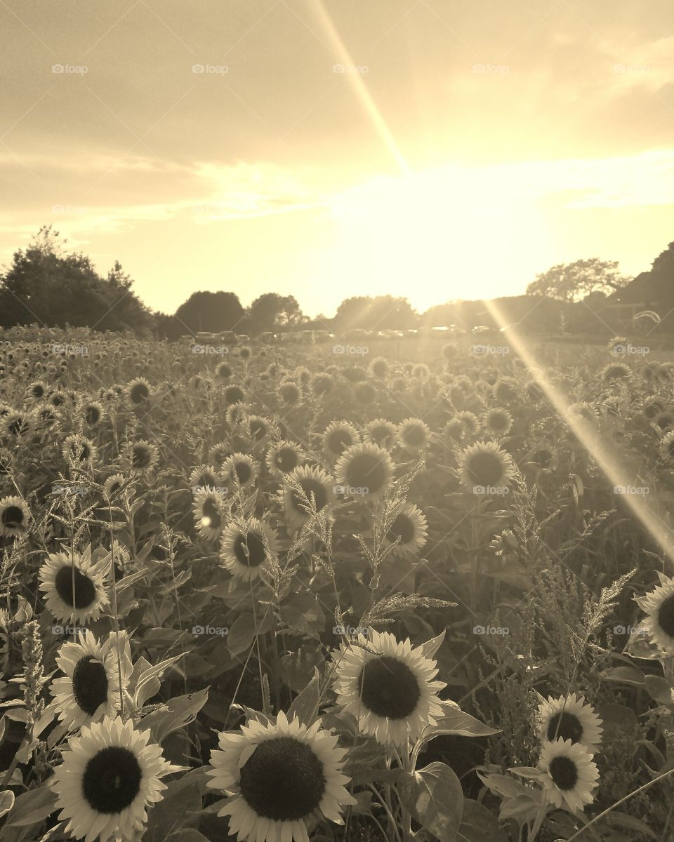 Sunflowers filed with cloudy sky