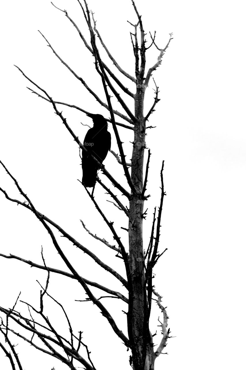 Silhouette of a black bird