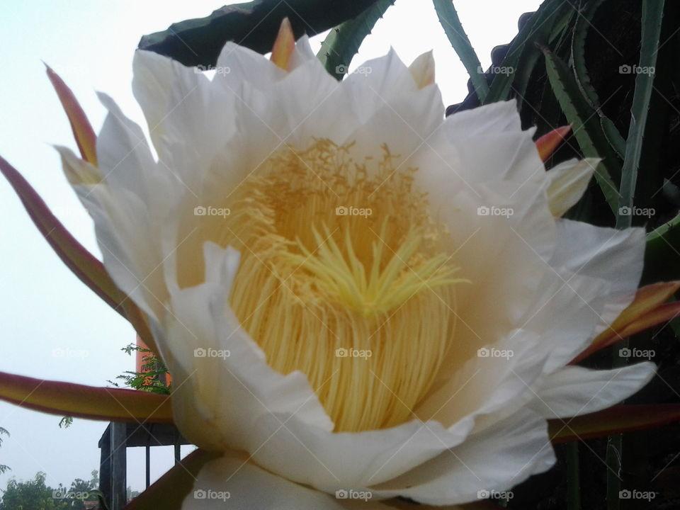 bunga naga