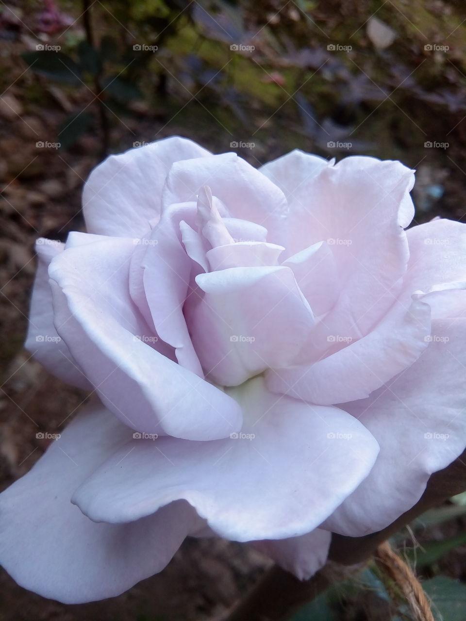 flower 2018-01-22 062  #আমার_চোখে #আমার_গ্রাম #nature #flower  #eukaryota #plantae #angiosperms #eudicots
