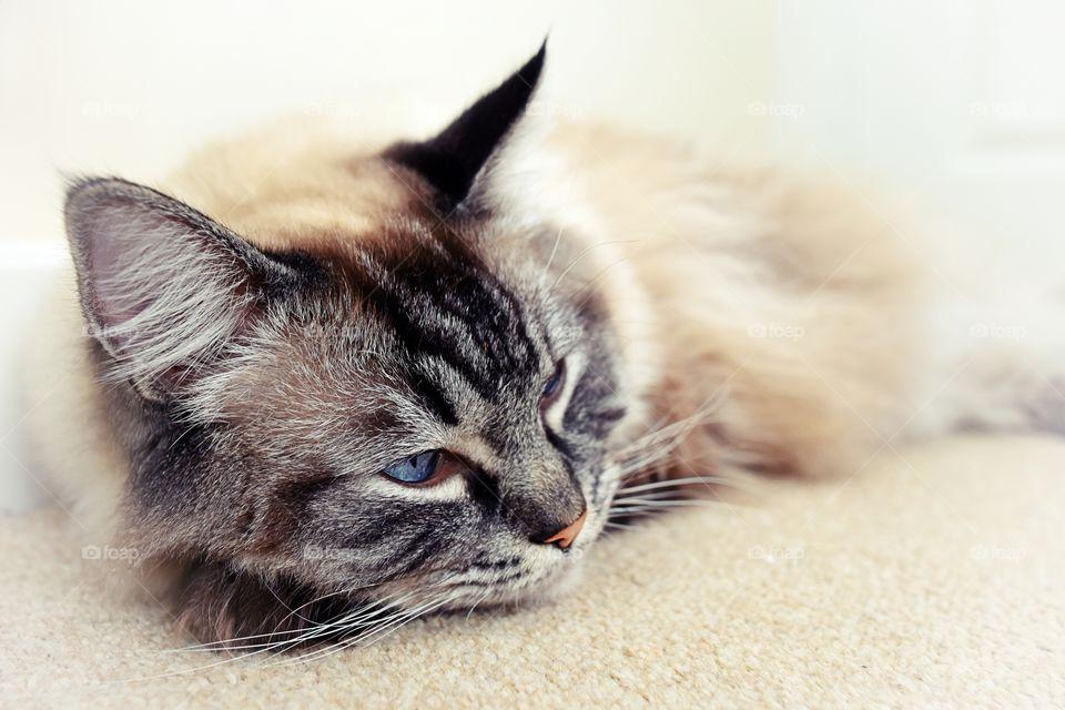 Sleepy Ragdoll cat portrait.