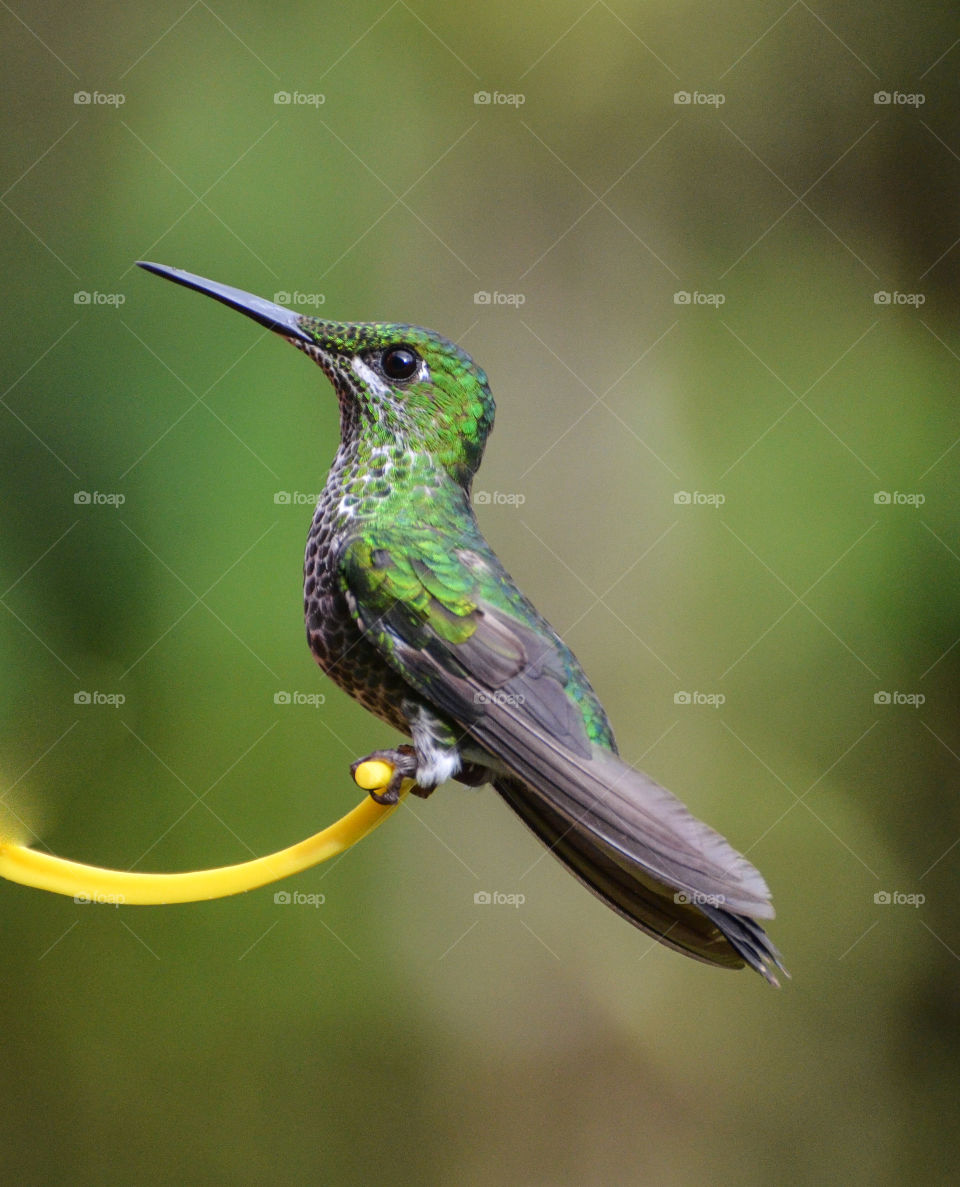 Portrait of humming bird