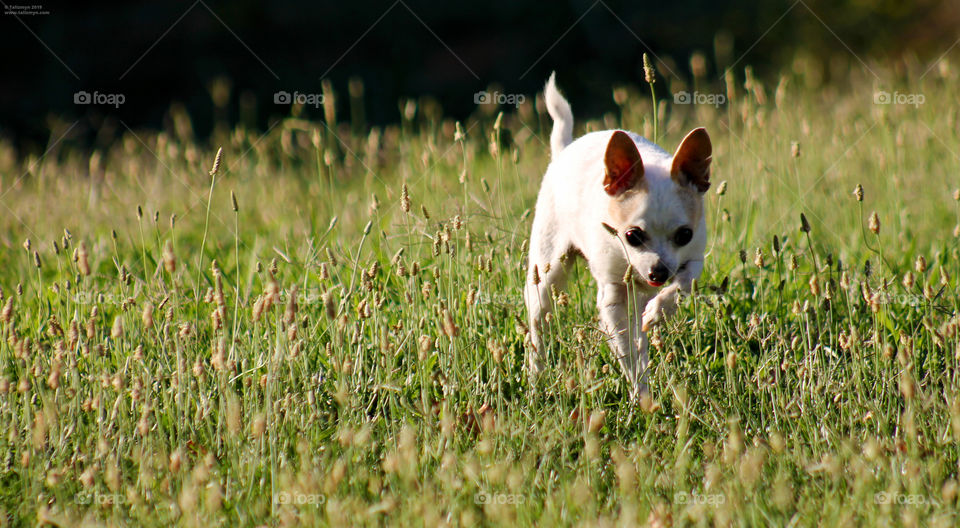 Small chihuahua delicately stepping through the grass, tongue out in adorable concentration.