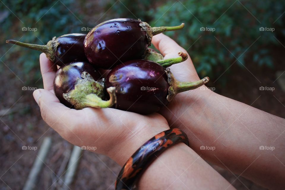 Person holding organic eggplants