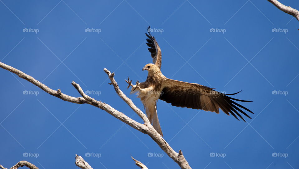 whistling kite landing on brach at a wetlands