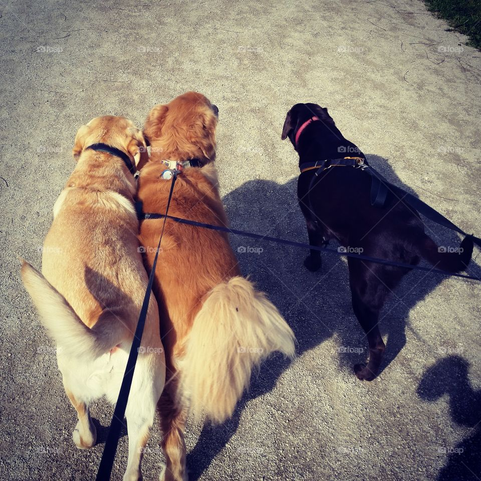 3 Best Friends. Walking with my golden and my friend's labs =)