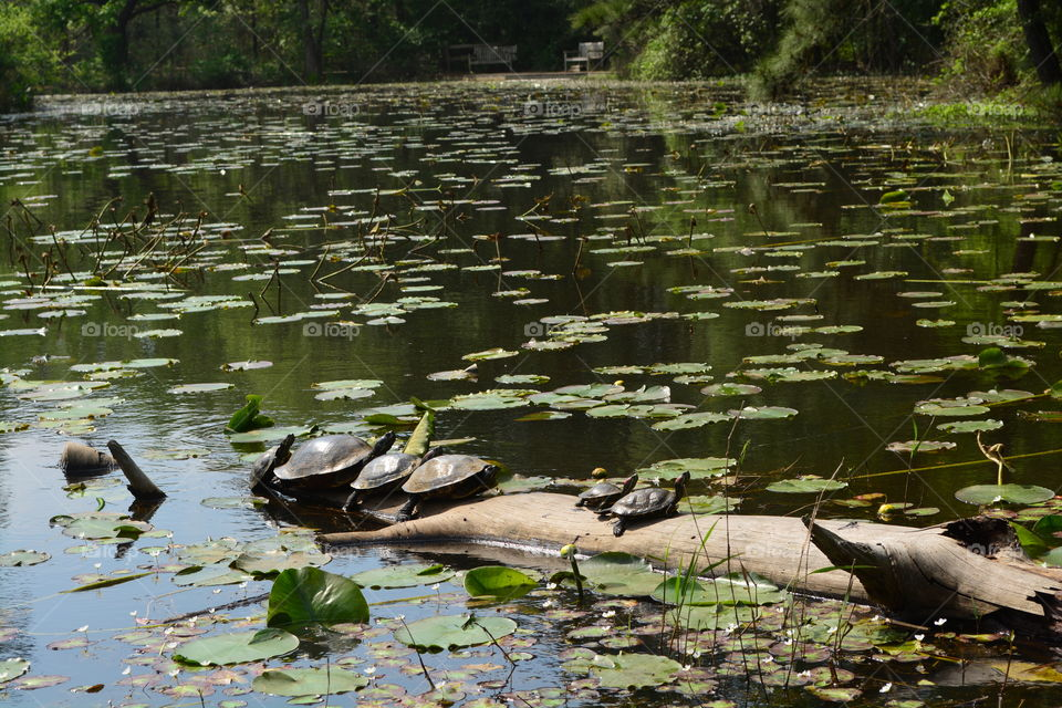Turtles on a log in a pond near the woods with lily pads