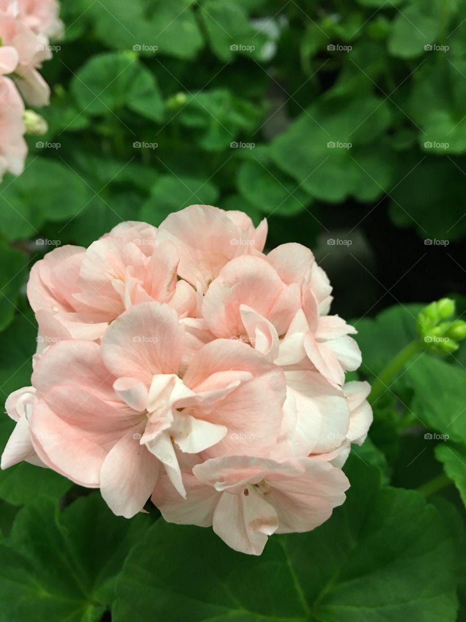 Pale blossom