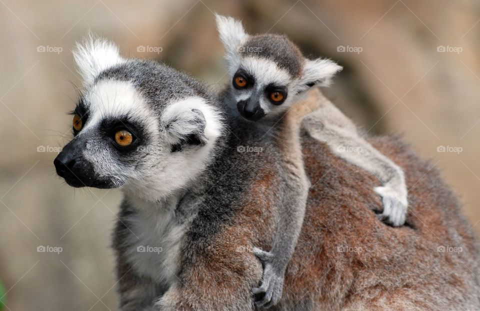 Ring-tailed lemur carrying young on back