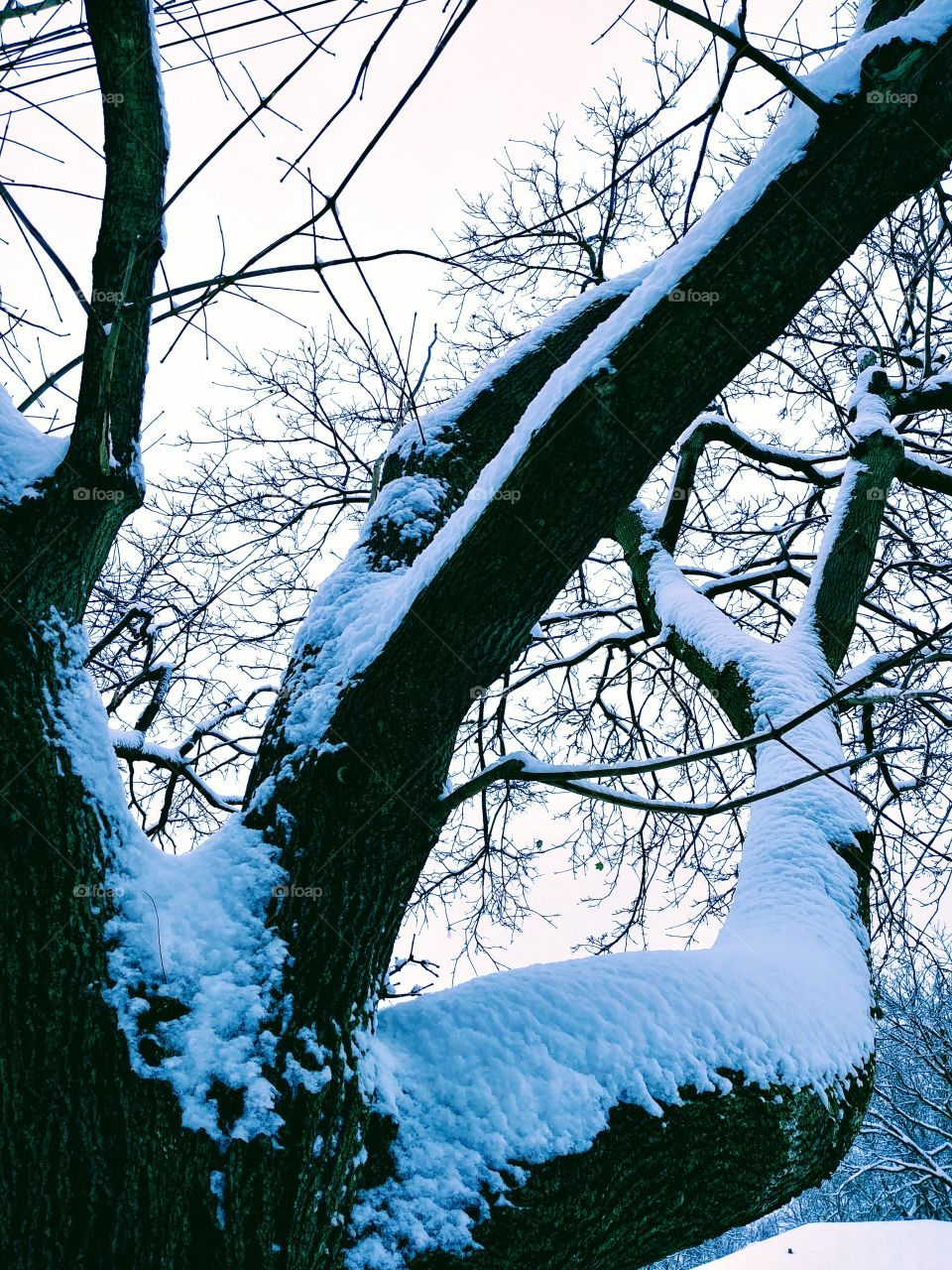 Snow On Branches.