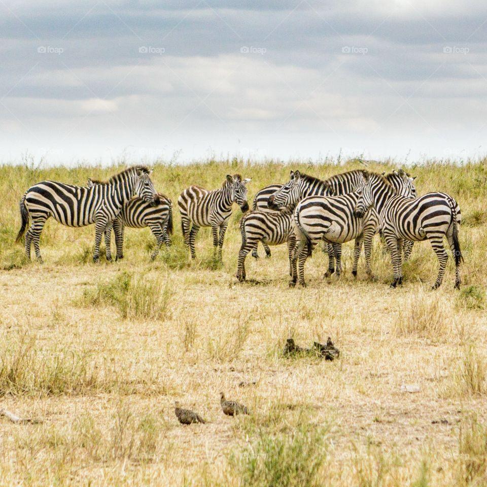 Zebra on the grasslands of the Serengeti, Tanzania.