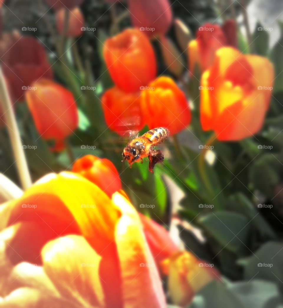 honeybee coming in for a landing on this beautiful tulip.