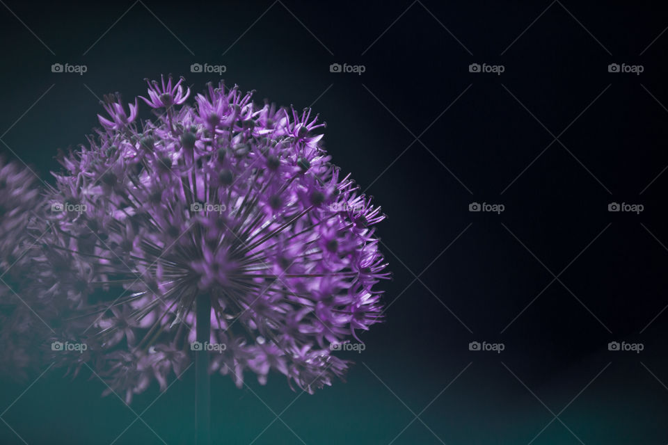Purple flower with black background