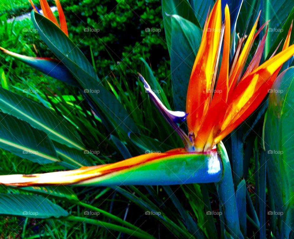 Bird of paradise of Florida