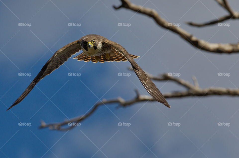 Perageen falcon flying at me on the hunt