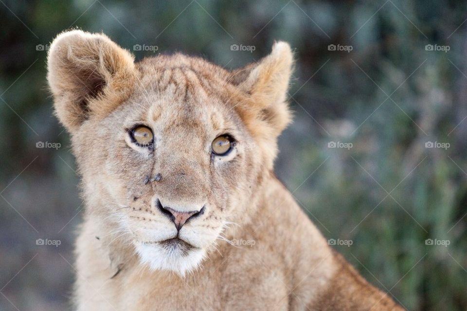 cat | wildlife, mammal, predator, lion