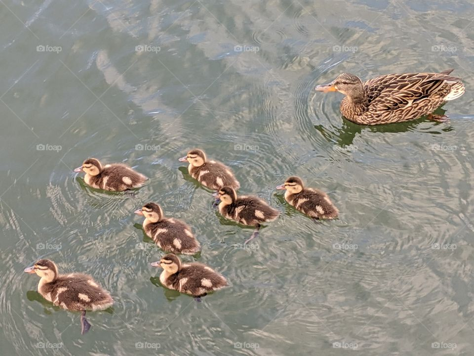 A Lake in Utah with Mommy and Baby Ducks ©️ Copyright CM Photography