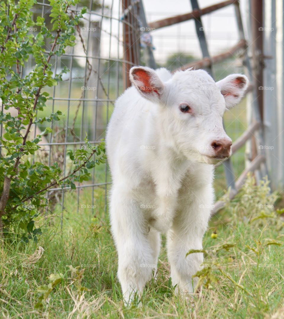 Shorthorn calf. Two days old.