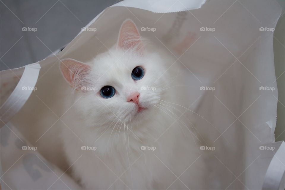 Portrait of white norwegian forest cat