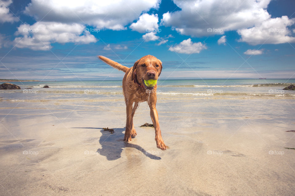 A playful yellow labrador retriever dog running along a white sandy beach under a blue sky in a pet summer vacation image with copy space