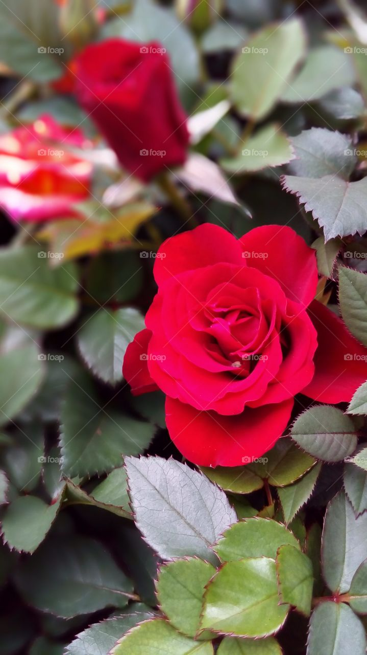 Red Rose is my favourite flower. Once they bloom, my garden always stand out the most. Well, people always know Roses mean Love, as they protect their loved one in their own way, in a meantime, protecting themself for the loved one.