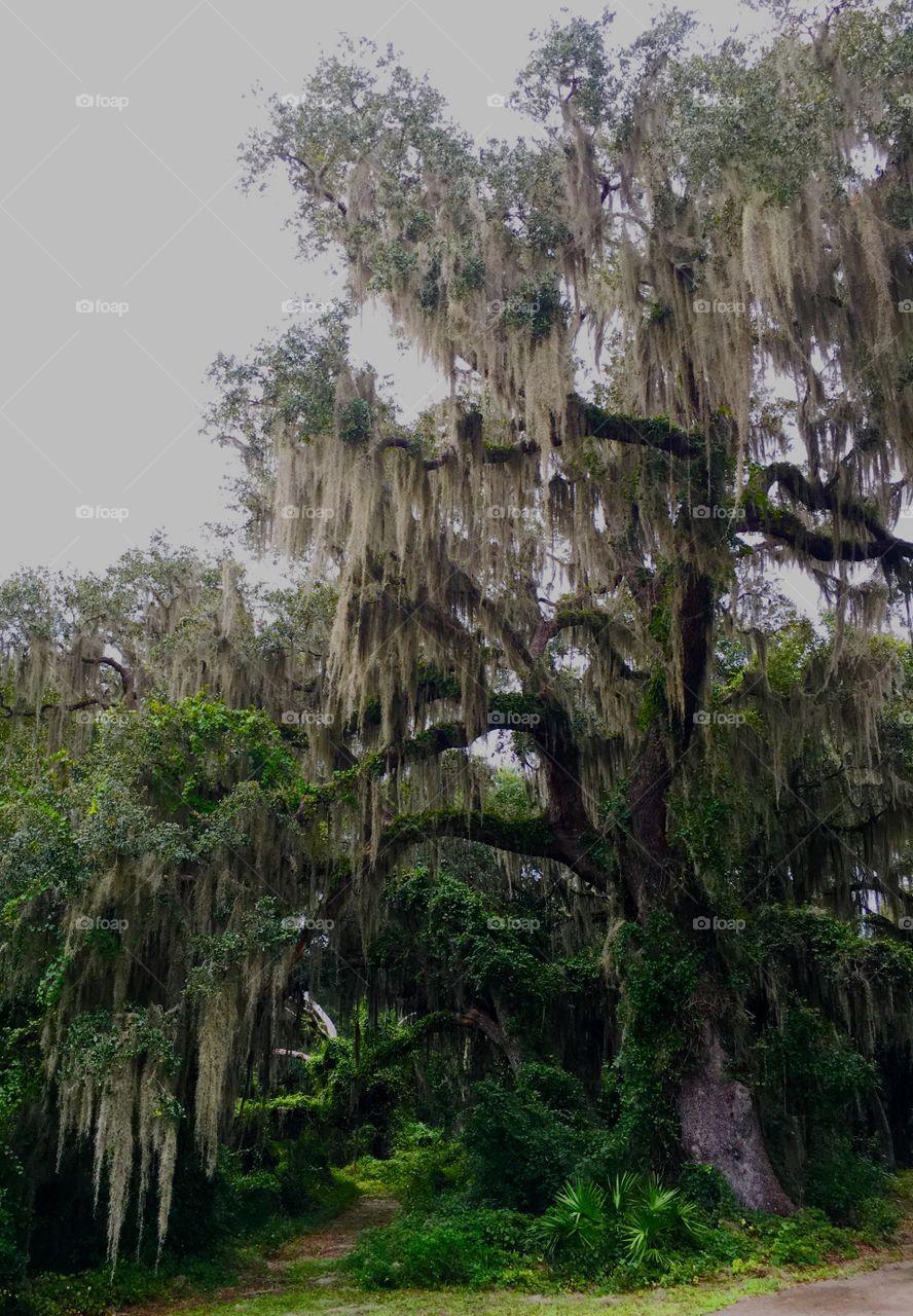 Spanish moss hanging tree