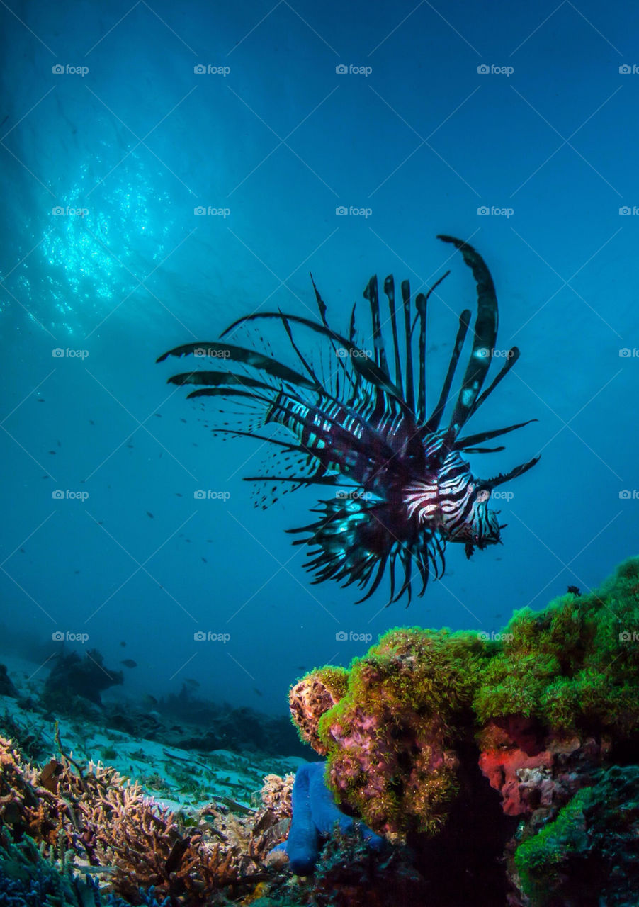 Lion fish on the prowl