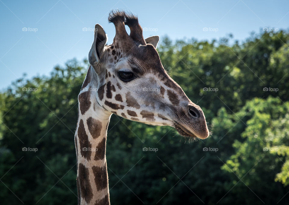 Close up of a giraffe at the Aalborg zoo.