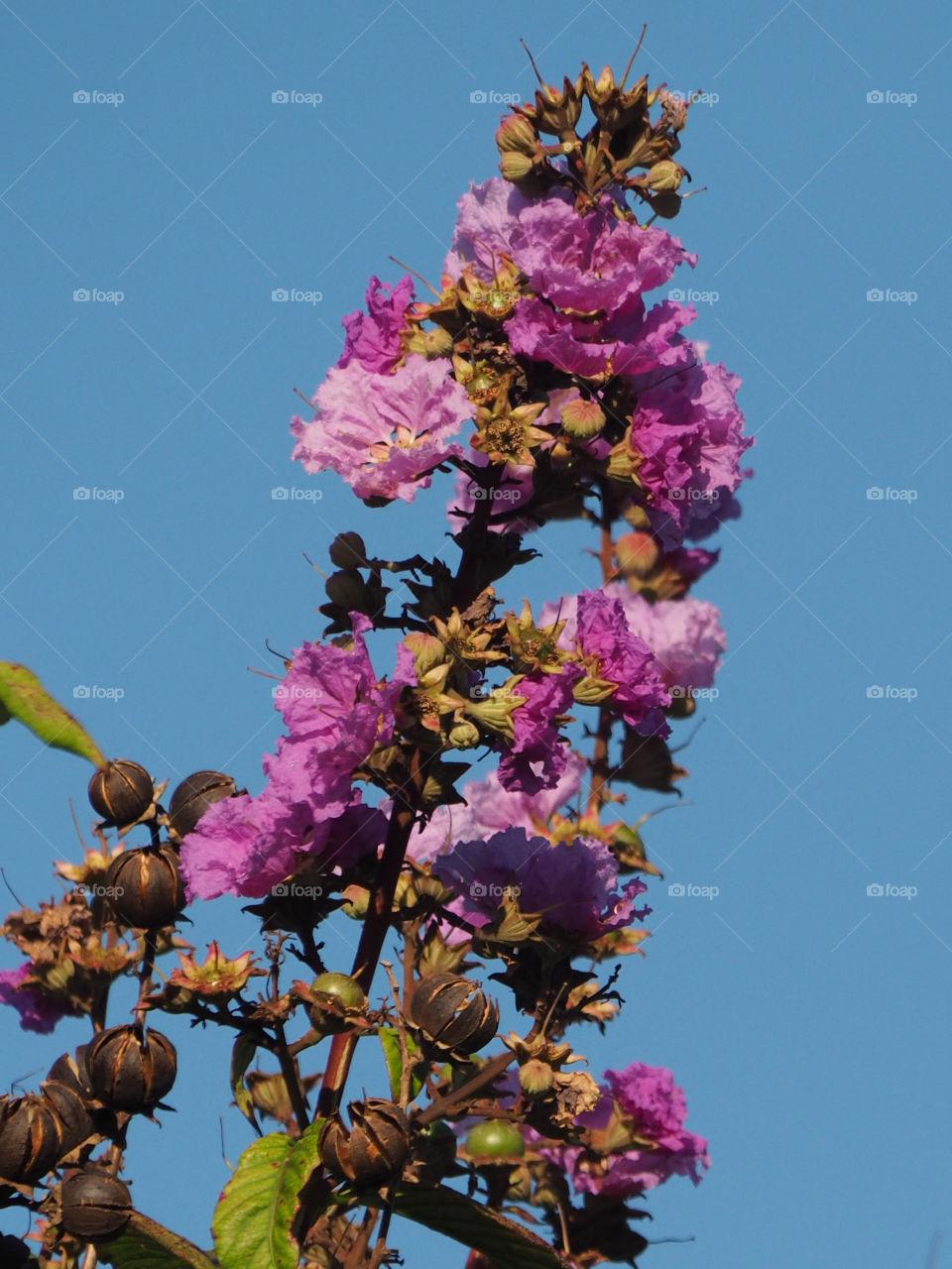 Summer Bloom Crape Myrtle Tree. Purple summer blooming flowers on Queen's Crape Myrtle Tree