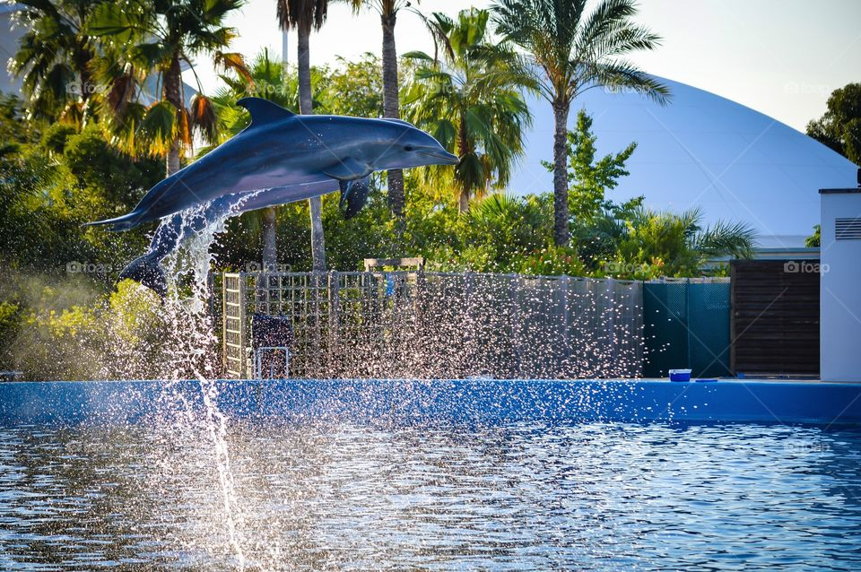 Dolphins jumping at swimming pool