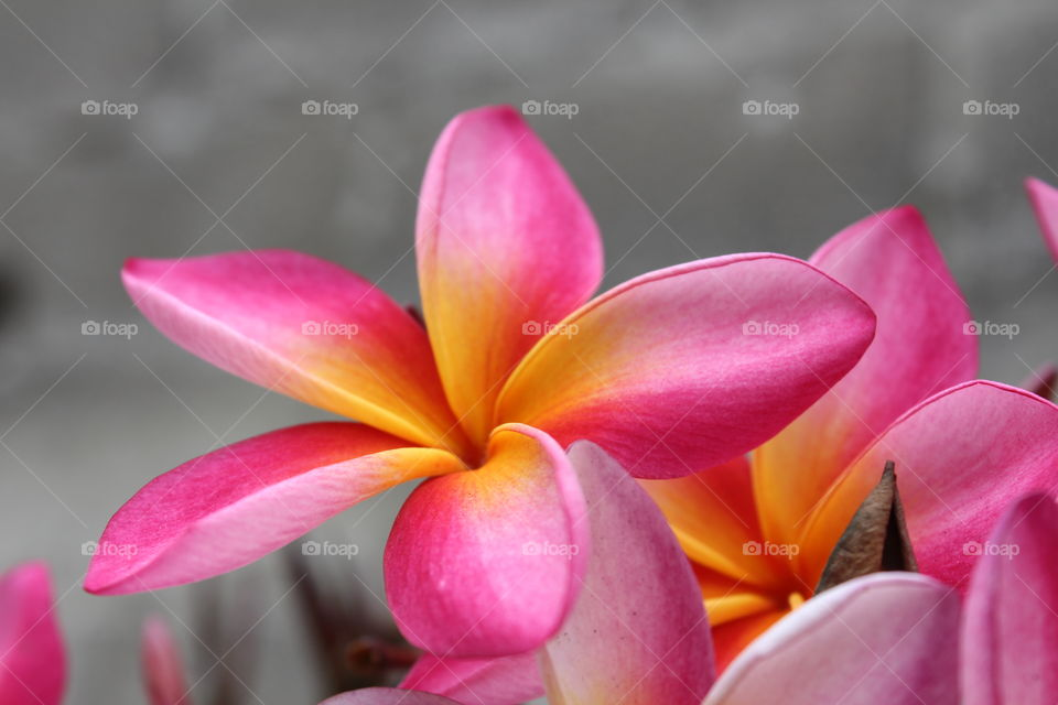 single pink and yellow flower
