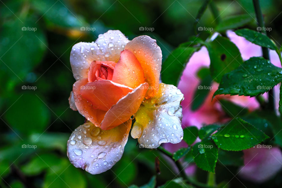 Rose with rain drops at the Wilanow Palace garden Poland