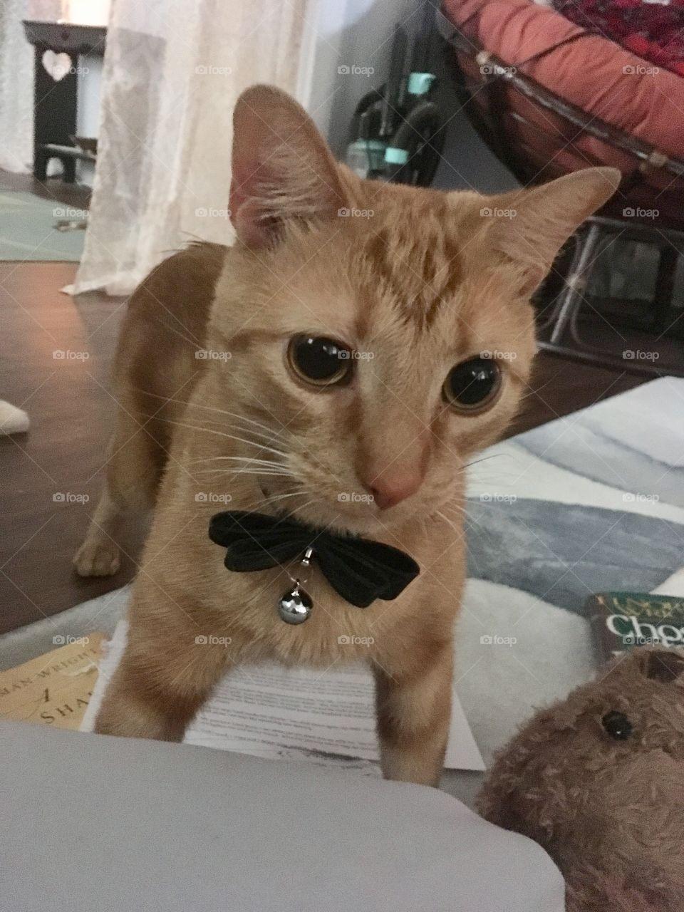Cat im bowtie collar