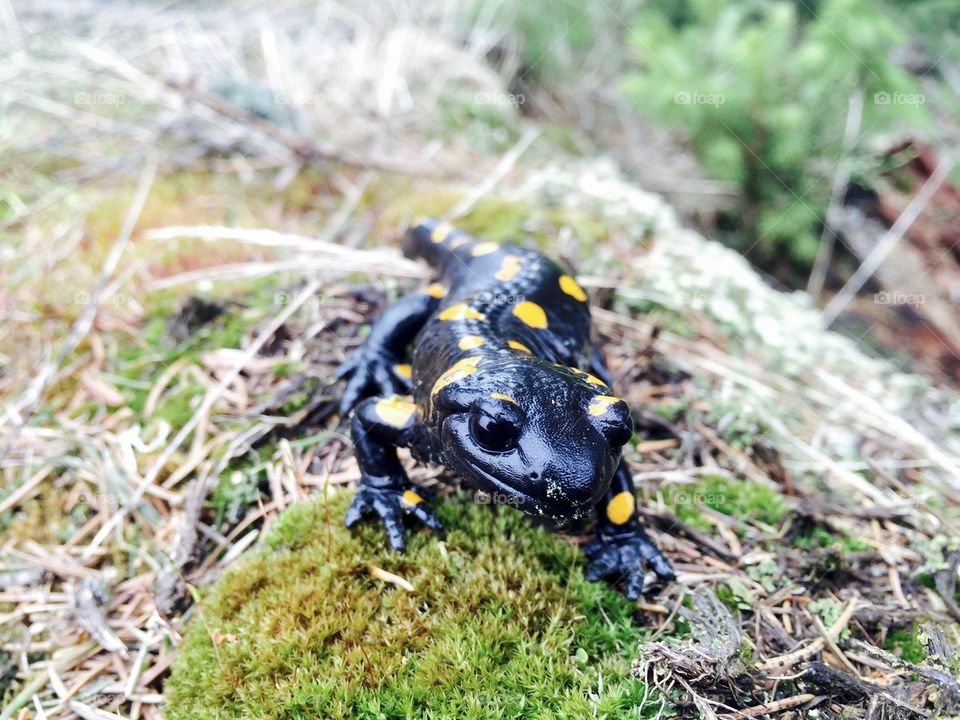Spotted salamander on the grass