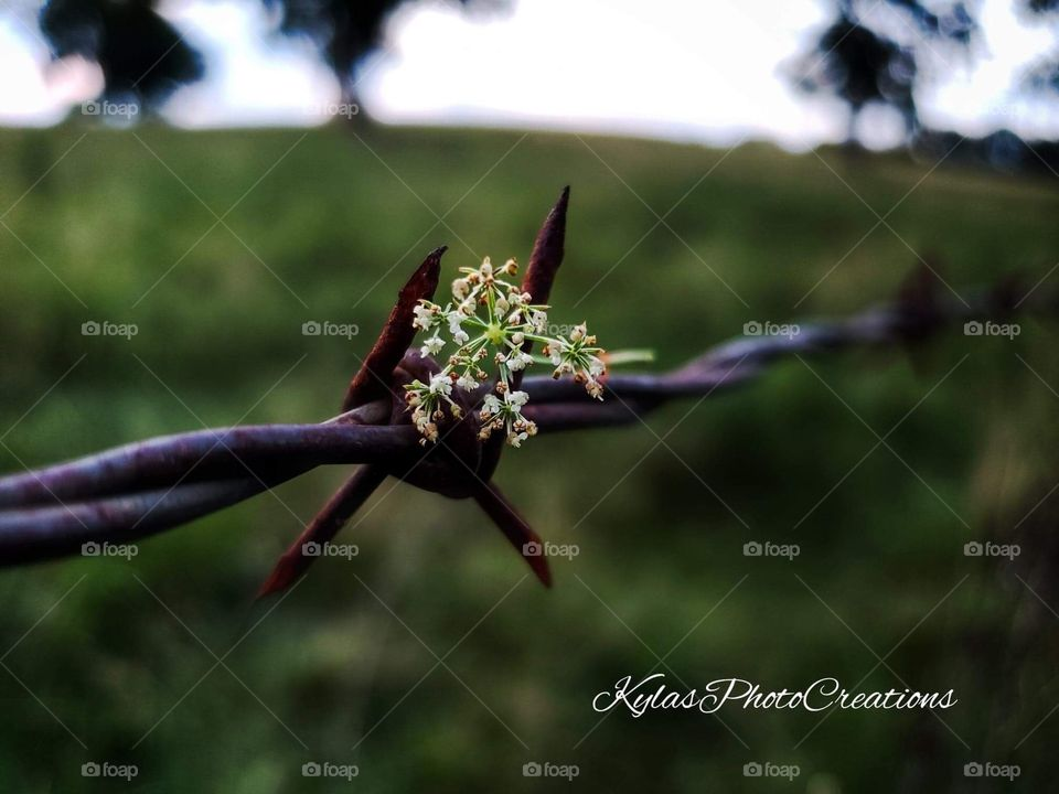 Weeds hung up on a barb wire fence