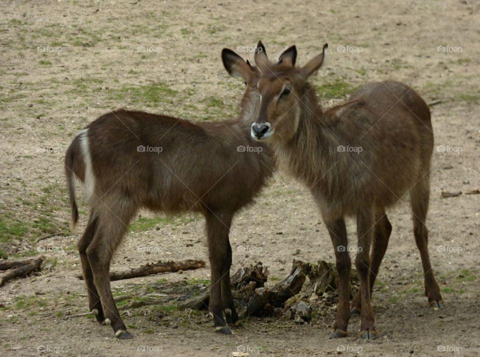 deers in Burgers Zoo, The Netherlands