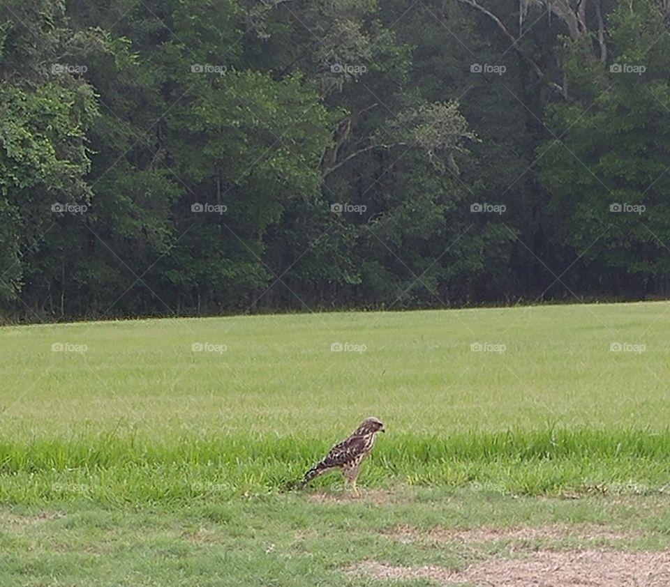 Hawk on the Ground