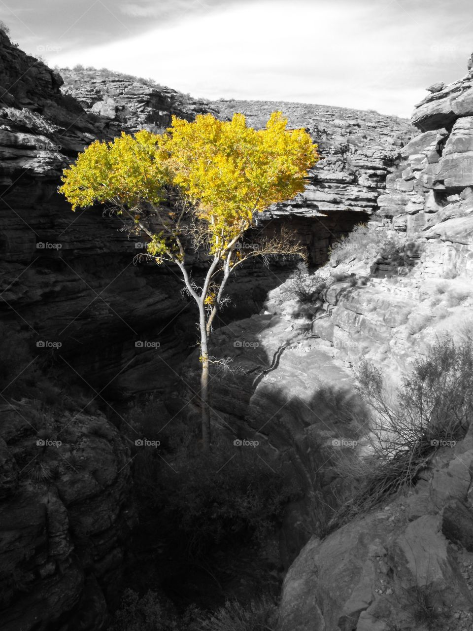 Color pop image revealing the brilliant golden autumn foliage of a tree rising up from the dark depths of the Grand Canyon in Arizona as seen along the Bright Angel Trail.