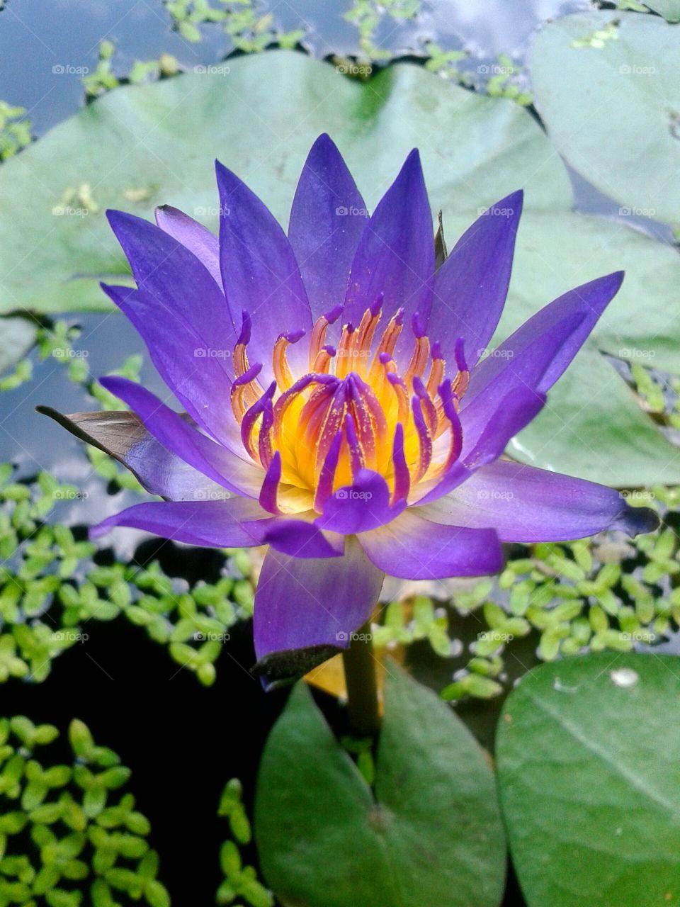lotus. lotus flower