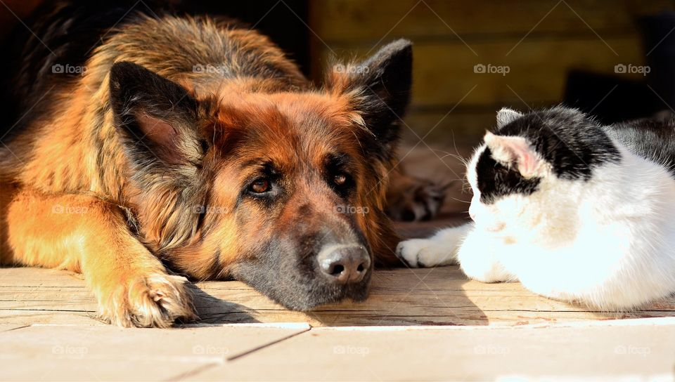 German Shepherd and the Cat