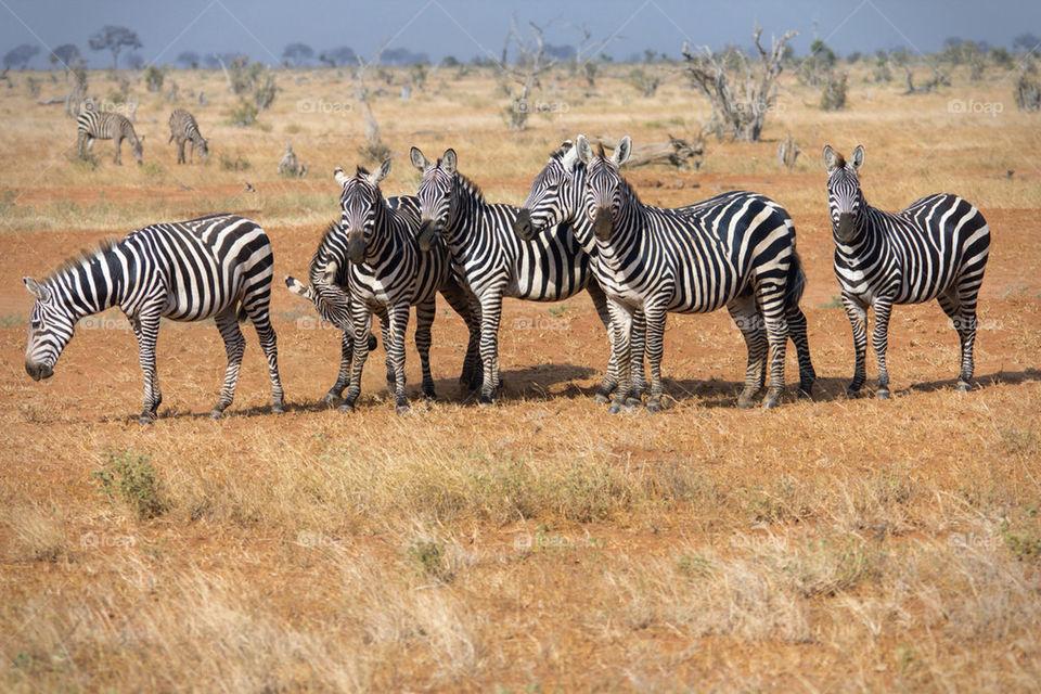 mammals animals africa zebra by mattbphotos