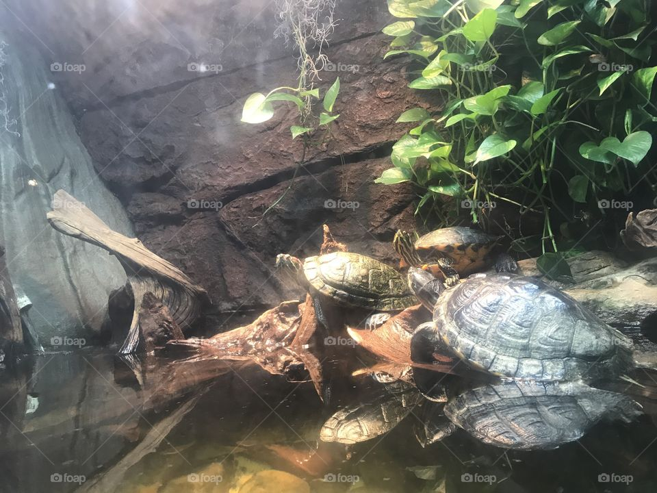 The trinity of tortoise! Just relaxing together.
