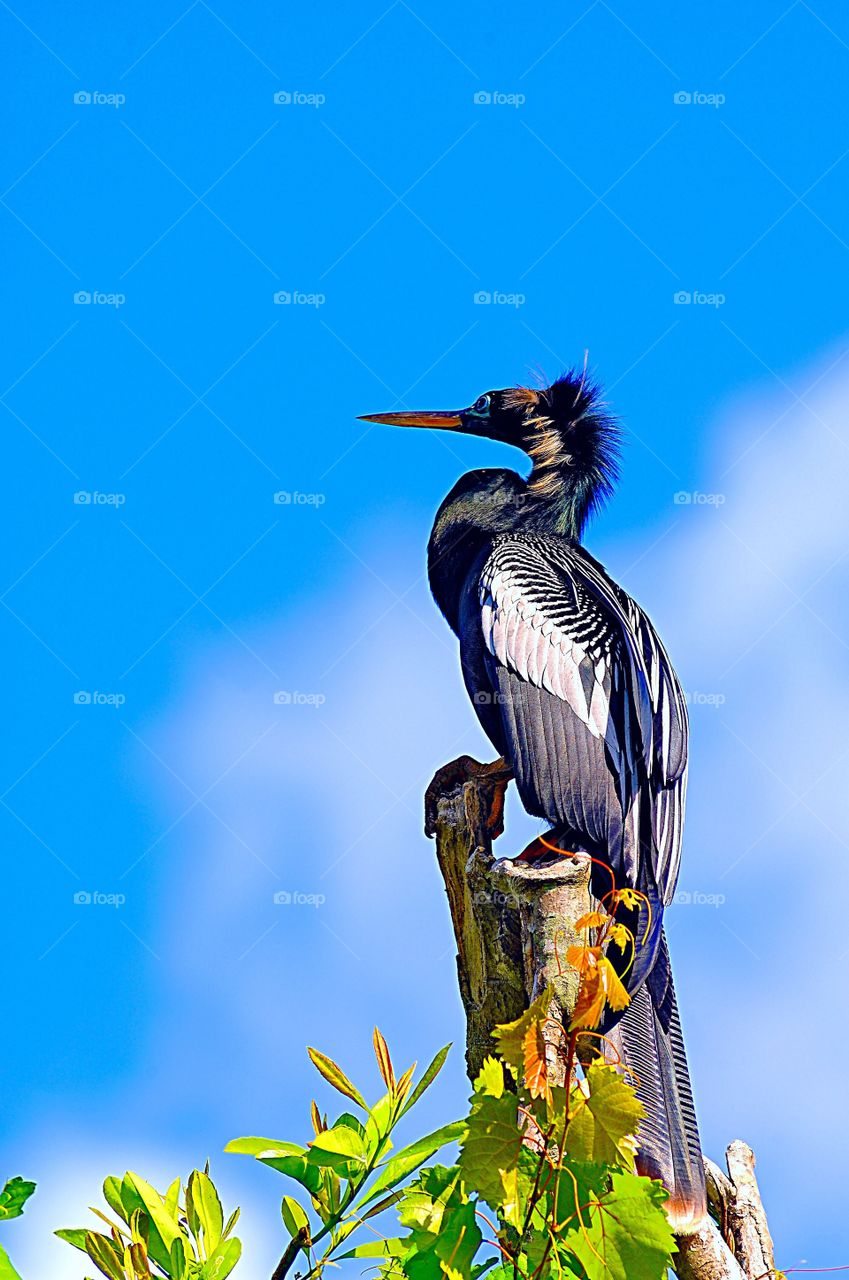 Portrait of an Anhinga (also known as a Snakebird) on a tree stump.