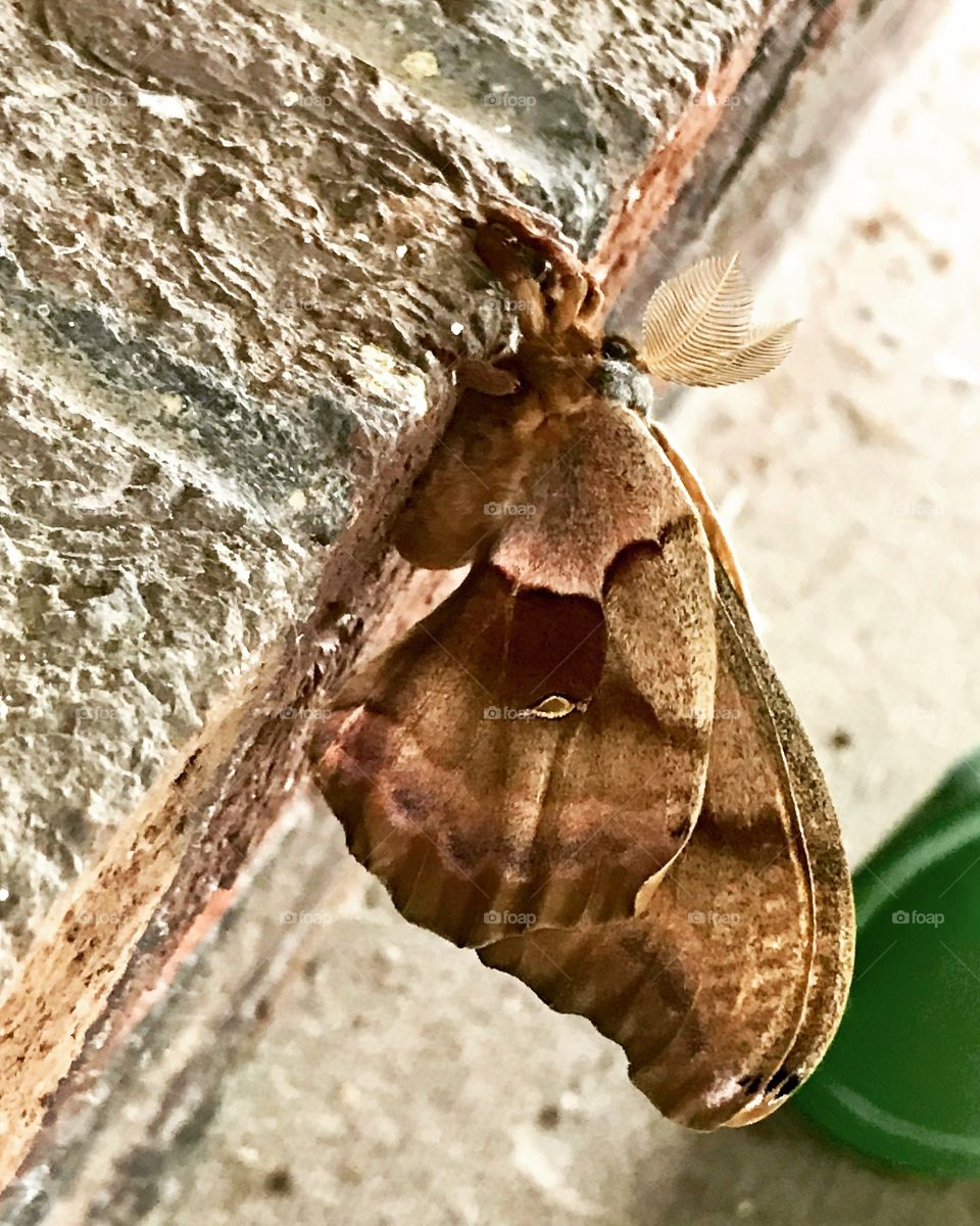 Giant brown fuzzy moth on brick wall