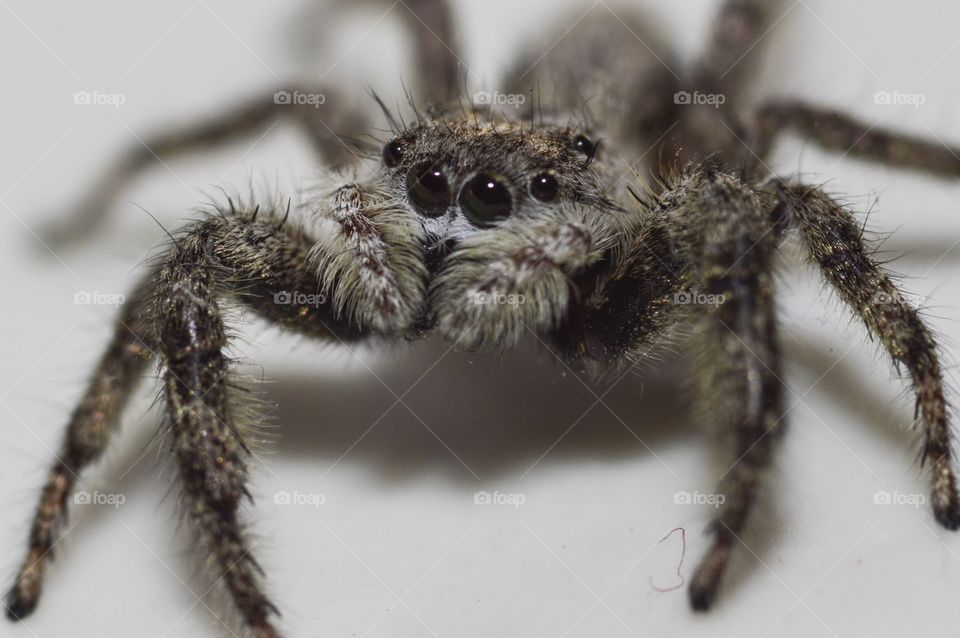 Macro grey jumping spider
