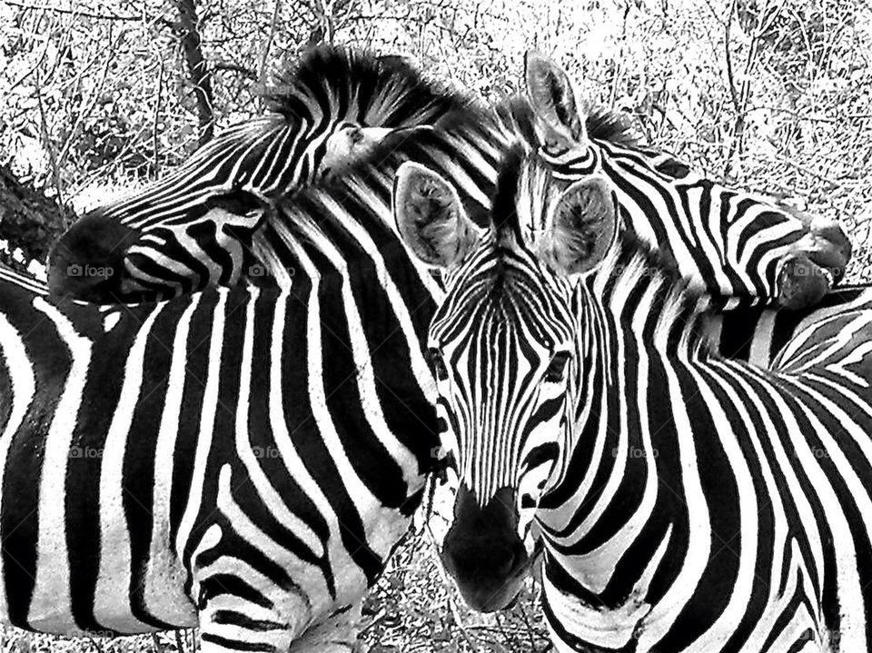 family zebra southafrica wildanimal by akelin