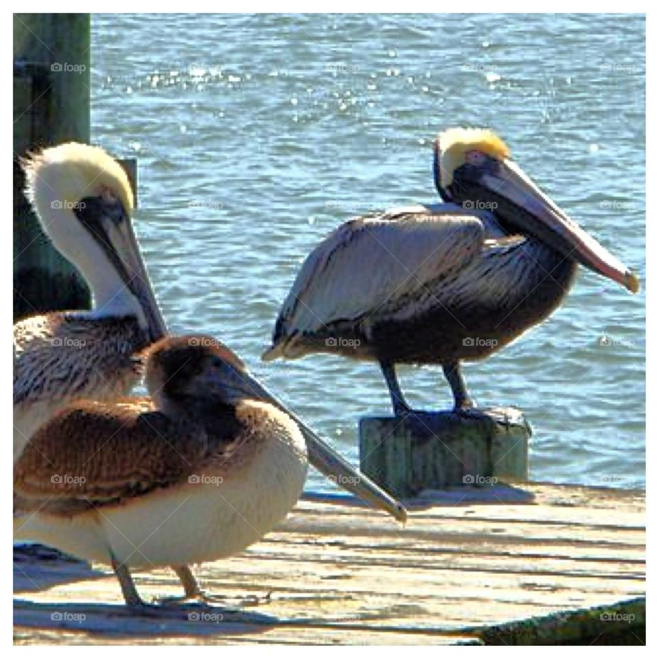 3 Pelicans on a Dock