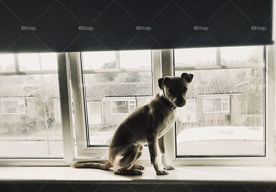 Statue, cat/dog? Our crazy rescued street dog sitting on the windowsill like a sphinx!
